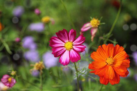 sonata: Pink and orange Cosmos bipinnatus Sonata flowers in the garden