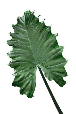 Alocasia Odora Giant Upright Elephant Ear, Nidée parfumée Lily leaf isolated on white