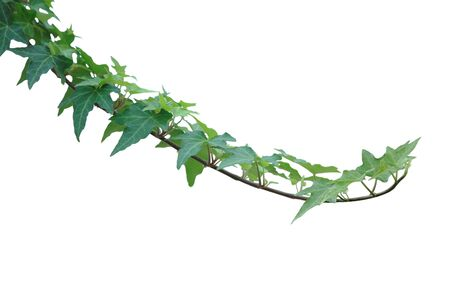 Ivy Leaf on vine isolated over white background Stock Photo