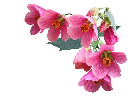 Pink Abutilon hybridum  Plarlour maple flower isolated on white background