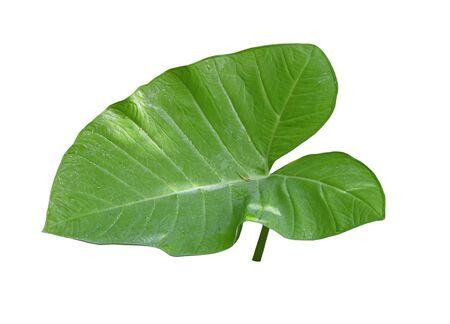 Single taro leaf isolated on white background