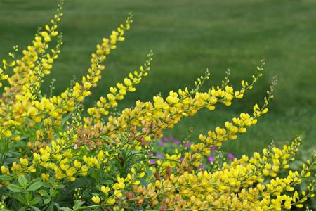 Yellow Baptisia  False Indigo Flower plant over green background