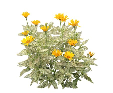veining: Yellow loraine sunshine heliopsis Helhan flower plant  silver leaf with dark green veining, isolated on white background Stock Photo