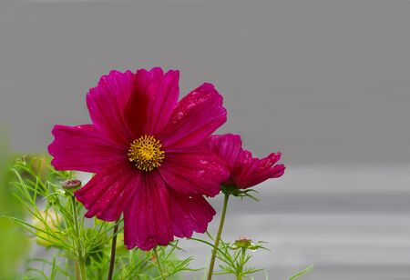 Sonata Cosmos Bipinnatus Flower over gray background Stock Photo