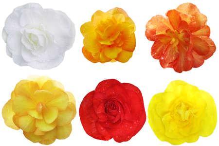 Begonia Flower heads set