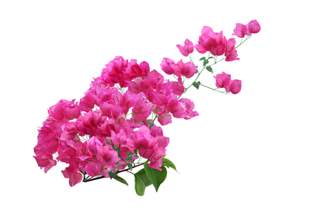 Blooming Pink Bougainvillea Flower branch isolated on white background Stok Fotoğraf