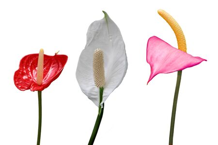 Flamingo Flower Collection isolated on white background