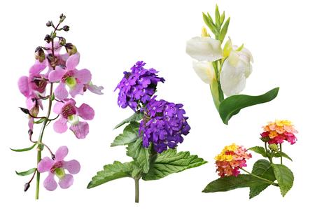 lantana: Set of Snapdragon Antirrhinum majus, lantana,  canna, verbena flower isolated on white background