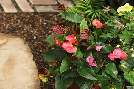Anthurium flamingo flower in red, pink and brown colors
