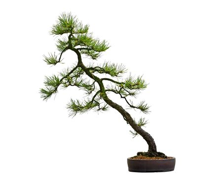 Pine Bonsai Tree in the pot isolated on white background