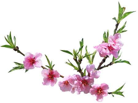 Peach flower blooming isolated on white background Stok Fotoğraf