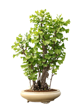 Ginkgo Biloba Maidenhair Bonsai Tree isolated on white background