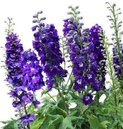 Purple blue Tall delphiniums flowers in the garden