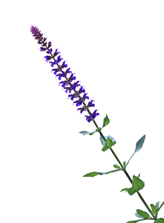 Purple meadow sage salvia pratensis flower isolated on white background Stock Photo