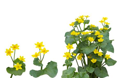 Marsh Marigold (Caltha Palustris) Flower Plant isolated on white background Standard-Bild