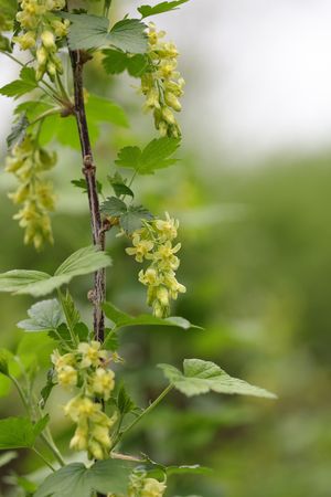 American Blackcurrant ( Ribes Americanum)  Beautiful Yellow Wildflower in Spring season