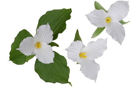 Trillium Grandiflorum Flower heads isolated on white background