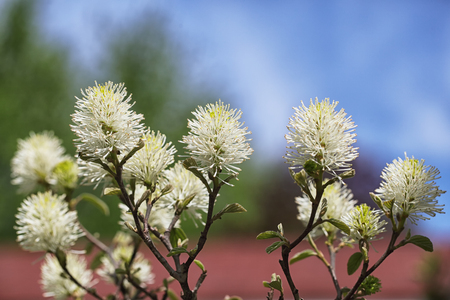 Beautiful Bottlebrush Flower Shrub  (Fothergilla major) against three color background