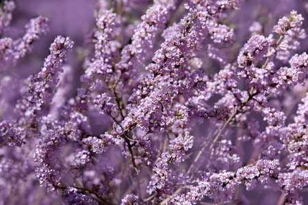 Fresh pink lilac blossom flowers in the early spring