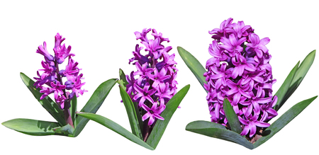 Set of three Purple Hyacinth Flower plants isolated on white background