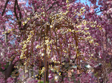 Yellow Weeping pussy willow over purple magnolia blooming background