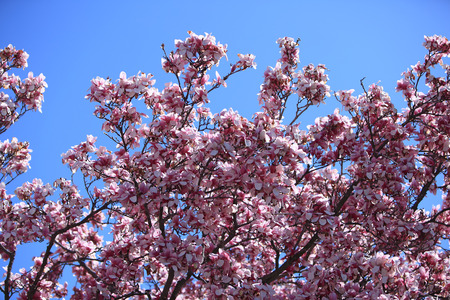 Giant magnolia blossom in the spring against the blue sky 版權商用圖片