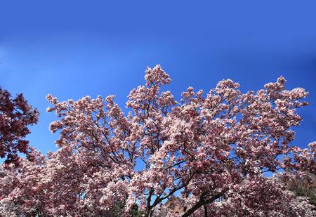 Big magnolia blossom flowers over the blue sky