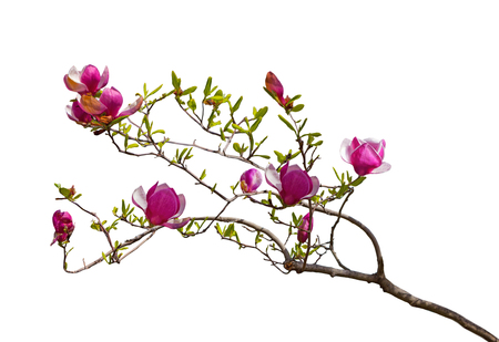 Branch of Magenta Magnolia flowers isolated on white background