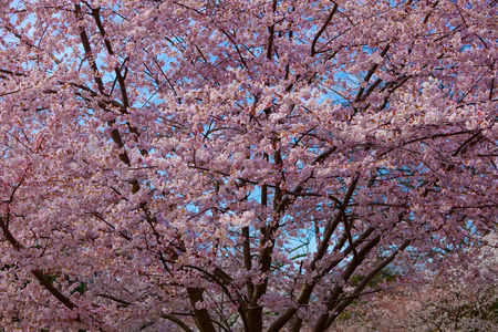 Top of Pink Cherry Blossom Tree in the Springtime