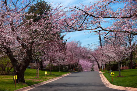 Sakura Cherry Blossom on the street in Maryland, USA in the springtime
