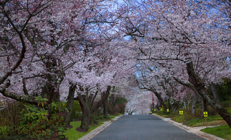 Street with two rows of beautiful white and pink blooming cherry trees