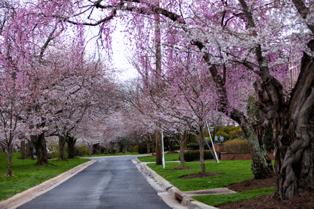 Yoshino Cherry blossoms in full bloom  forming a canopy of fluff in Montgomery County 版權商用圖片
