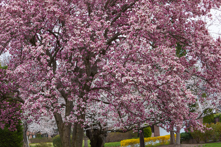Bblooming magnolia tree with beautiful pink flowers