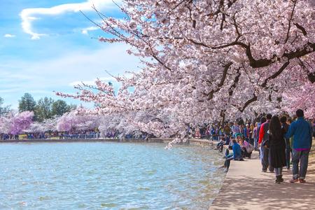 WASHINGTON, DC - April 06, 2018: Cherry blossom tree along the Tidal Basin in Washington, DC with a crowd of unidentified tourists 版權商用圖片