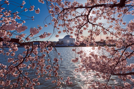 Pink Cherry Blossom at Tidal Basin during the annual festival in Washington DC with Thomas Jefferson Memorial in the background