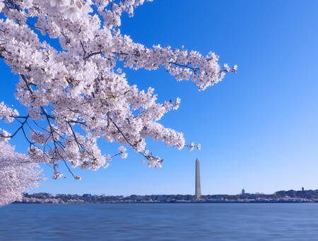Cherry Blossom Festival on the early morning at Tidal Basin in Washington DC, USA