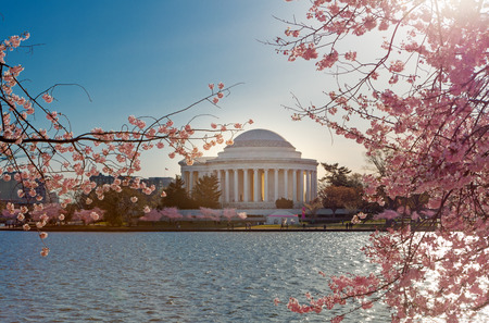 Cherry blossoms with the Jefferson Memorial in the background at Tidal Basin in Washington DC 版權商用圖片