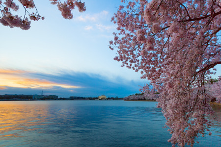 Tidal Basin at Dawn in Washington DC, during the Cherry Blossom Festival