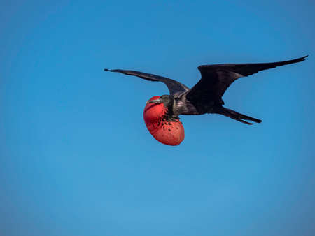 Magnificent male frigatebird soaring through the blue sky near Galapagos Islands, Ecuador