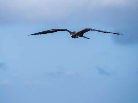 Magnificent female frigatebird soaring through the blue sky near Galapagos Islands, Ecuador Stock Photo