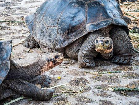 Close up of a beautiful Giant Tortoise in the highland of Santa Cruz Island, Galapagos Islands, Ecuador Stock Photo