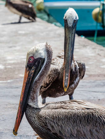Two beautiful Brown Pelicans spotted near Santa Cruz Island, Galapagos Islands, Ecuador
