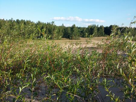 pes caprae: Plants growing at the Baltic beach in Summer