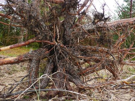 displace: Big Fallen Tree after hurricane in Riga Stock Photo