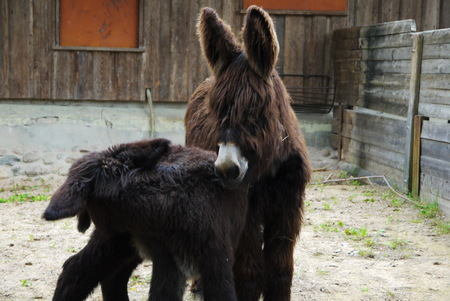 baby ass: Two cute Donkeys in farm pose on camera Stock Photo