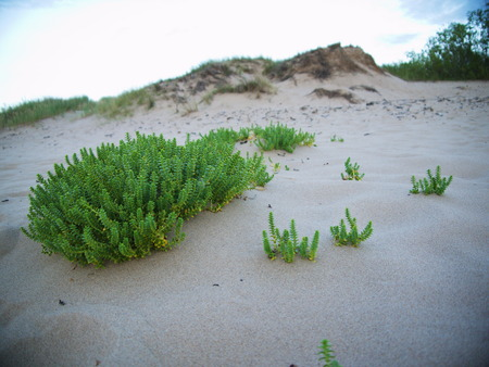 greengrass: beach with sand dunes and a greengrass at the sea