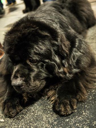 newfoundland dog: Beautiful Newfoundland dog Stock Photo