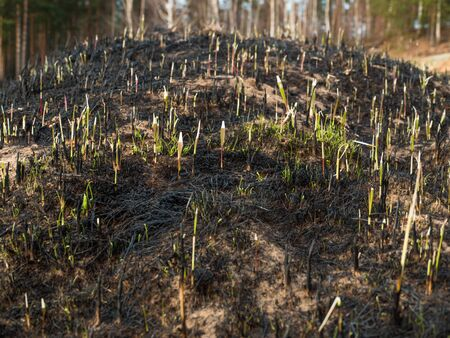plantlet: The close-up of young green sprout after fire. Stock Photo