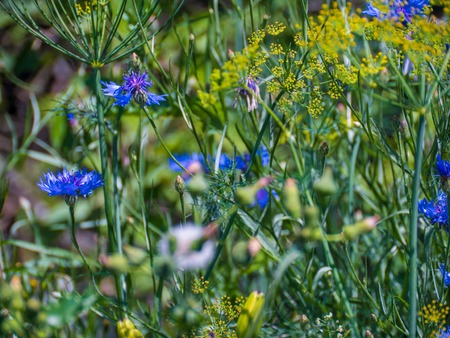 champ de fleurs: blue and yellow field flowers at sunny day