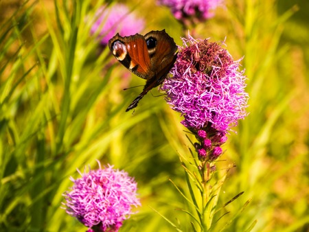 buterfly: buterfly ad bee in the garden with pink flower